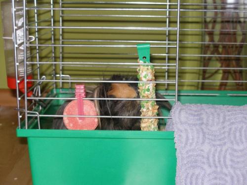 Choco i Blacky #zwierzęta #gryzonie #ŚwinkiMorskie #klatka
