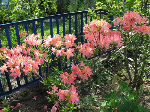 #kwiaty #azalie #ogród #wiosna