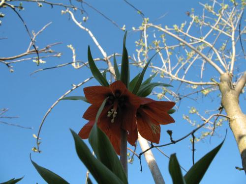 #kwiaty #KoronaCesarska #ogród