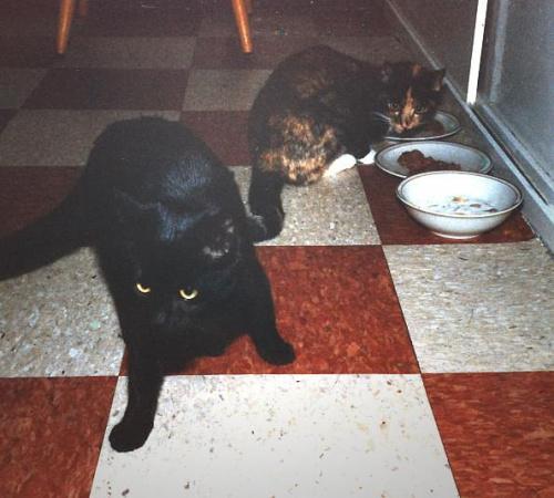 Czarna Tamara i Gryzelda - pierwsze koty w Australii