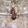 makrofotografia - mrówka polująca na kleszcza #przyroda #natura #owady #zwierzęta #makrofotografia #mrówki