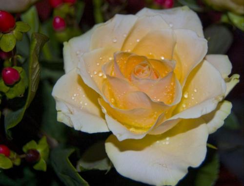 Roza. #kwiaty #roze