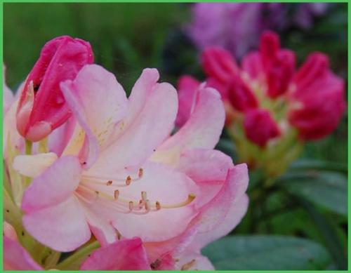 Tego roku rododendrony zakwitły u mnie wyjątkowo pięknie!!!