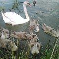 brzydke kaczątka #łabądź #rodzina #BrzydkieKaczątki