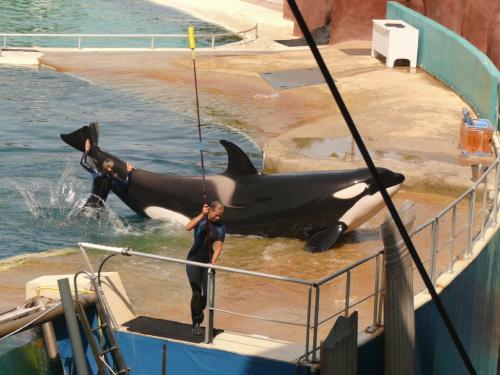 Orka - największy przedstawiciel Delfinowatych #Marineland