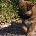 Psotka - ( suczka 2 m-ce) na niedzielnym spacerze w lesie #piesek #szczeniak #suczka #spacer #zwierzęta #NasiUlubieńcy #PrzyjacielCzłowieka #OpiekaNadZwierzętami