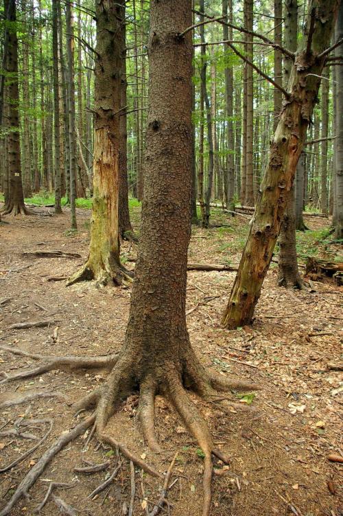 Puszcza bukowa na zboczach Bukowego Berda #las #drzewo #buk #góry #puszcza #Bieszczady #korzenie