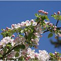 #Kwiaty #jabłoń #natura
