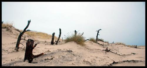 umarłe drzewa, wydma łącka #Łeba #plaża #morze #wydmy