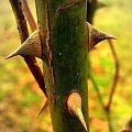 Grudniowy ogród #kolce #ogród #rośliny #róże