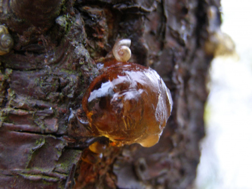 Żywica.... :-) #Żywica #bursztyn #drzewo #muszla