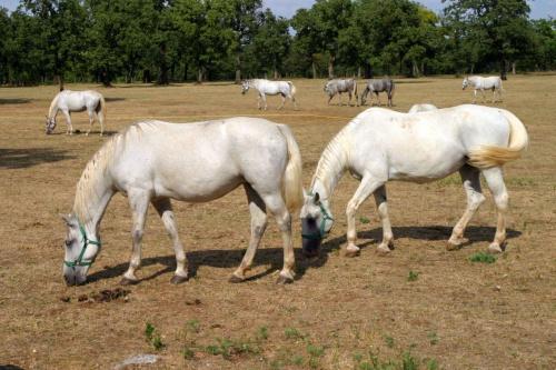 Konie lipicańskie. Rasa lipicanerów siwej maści powstała w wyniku skrzyżowania koni andaluzyjskich, neapolitańskich i arabskich na potrzeby Hiszpańskiej Szkoły Jazdy w Wiedniu w w stadninie Lipica (założonej w 1580 roku). #Słowenia #konie