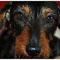 #pies #jamnik #portret