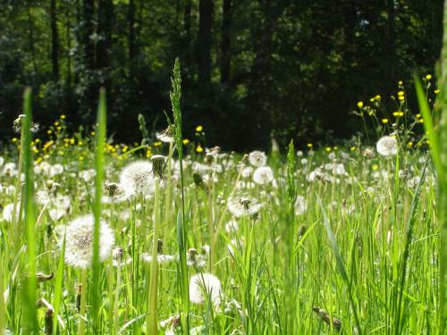 Łąka #Rośliny #dmuchawce #trawa
