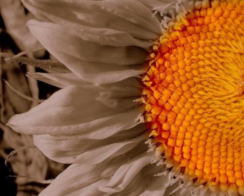 #kwiat #słonecznik