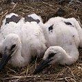 #ptaki #bociany #gniazdo #bosian #bocianki #małe