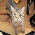 Łobuza zdziwione spojrzenie #kot #łobuz #zdziwienie