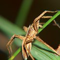 Philodromus cespitum #makro #pająk #pająki #owady #przyroda #natura #zwierzęta #drapieżnik #myśliwy #makrofotografia