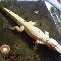 albinotyczny krokodyl #krokodyl