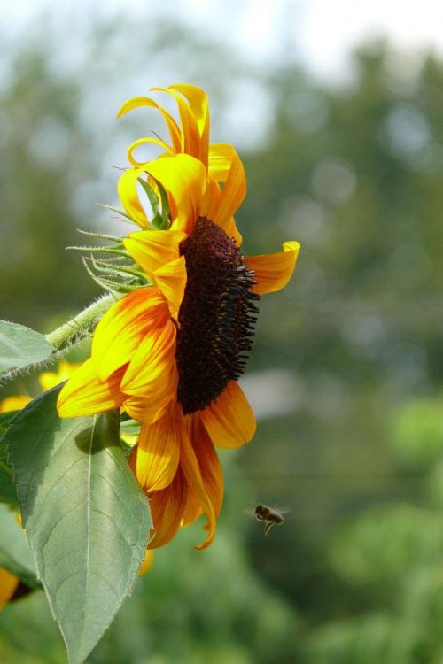 Ostatnie tchnienia lata... #kwiaty #słonecznik #przyroda #pszczoła