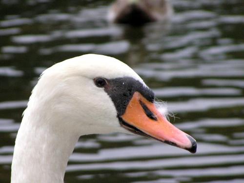 łabedzie, kaczki, ptaki, zwierzaki,zwierzęta, ptactwo wodne, woda, przyroda #łabedzie #kaczki #ptaki #zwierzaki #zwierzęta #PtactwoWodne #woda #przyroda