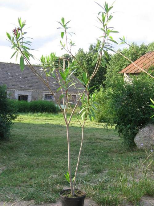Oleander, okaz pięcioletni, można z niego kilka sadzonek uciąć.Właśnie ma zamiar zakwitnąć. #Oleander #kwiat #roślina #doniczka