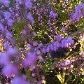 #wrzos #kwiaty