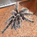 Ptasznik Kędzierzawy L8/L9 #Brachypelma #Albopilosum #Ptasznik #Kędzierzawy #Pająk