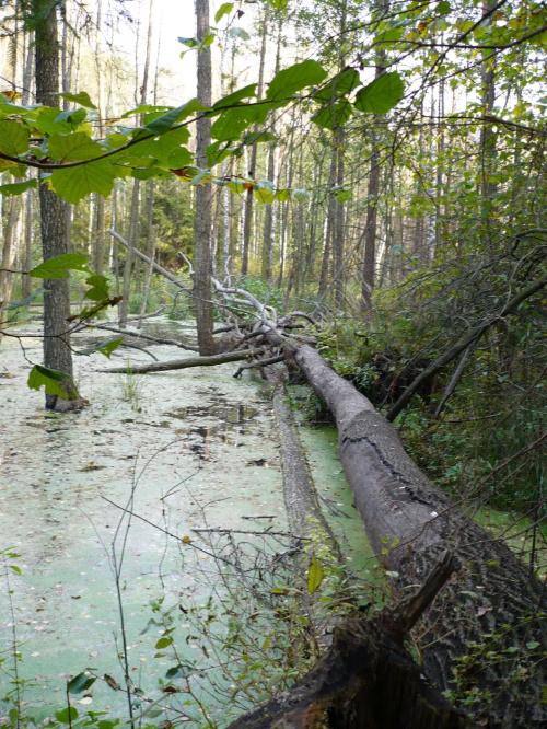 powalone drzewo #stawiski #las #zalew #drzewa #woda #natura