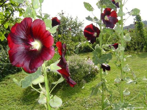 ...lato kwitnące malwami ..... #kwiaty #lato #malwa